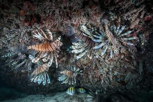 Large Groups of the Invasive Species, the Lionfish, Live and Hunt in Rich Coral Reefs by Jennifer Hayes
