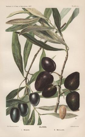 Lithograph of Olives by D.G. Passmore by Jennifer Kennard