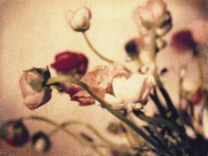 Ranunculus No.2 by Jennifer Kennard