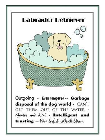XL Labrador