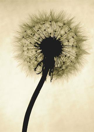 jenny-kraft-backlit-dandelion