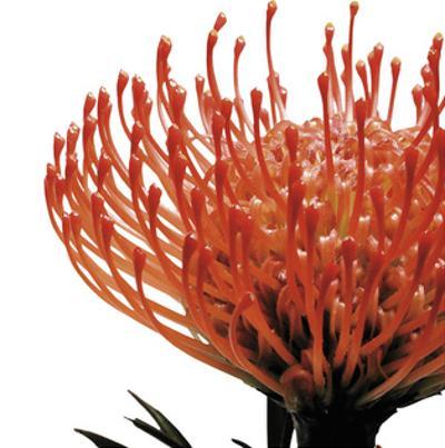 Orange Protea 1 (detail)