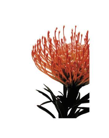 Orange Protea 1