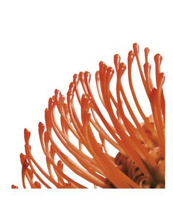 Orange Protea 4 (detail)