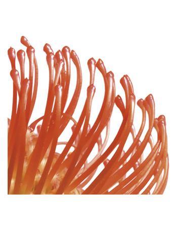 Orange Protea 5 (detail)