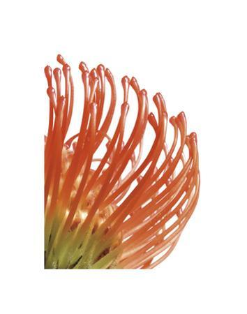 Orange Protea 5