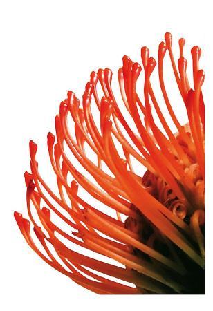 Orange Protea IV