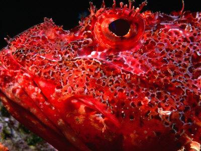 Portrait of Scorpionfish, Danger Rock, Poor Knights Islands Marine Reserve, New Zealand