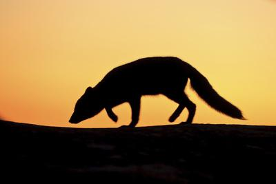 Arctic Fox (Vulpes Lagopus) Silhouetted at Sunset, Greenland, August 2009
