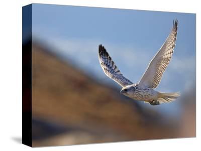 Gyrfalcon (Falco Rusticolus) in Flight, Disko Bay, Greenland, August 2009