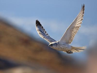 Gyrfalcon (Falco Rusticolus) in Flight, Disko Bay, Greenland, August 2009