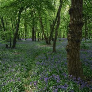 Bluebells in an Ancient Wood in Spring Time in the Essex Countryside, England, United Kingdom by Jeremy Bright