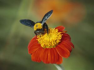 Bumble Bee on a Dahlia, England, United Kingdom, Europe by Jeremy Bright
