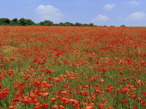 Field of Wild Poppies, Wiltshire, England, United Kingdom by Jeremy Bright