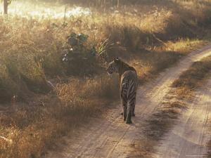 Tiger, Kanha National Park, Madhya Pradesh State, India by Jeremy Bright