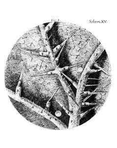 Drawing of Nettle From Hooke's Micrographia by Jeremy Burgess