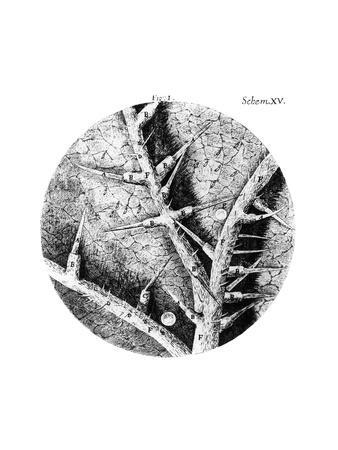Drawing of Nettle From Hooke's Micrographia