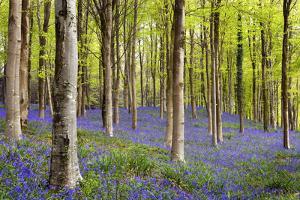 Bluebells (Hyacinthoides Sp.) by Jeremy Walker