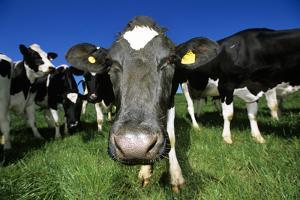Cows by Jeremy Walker