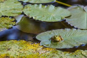 A Bull Frog, on a Lily Pad at Massachusetts Audubon's Wellfleet Bay Wildlife Sanctuary by Jerry and Marcy Monkman