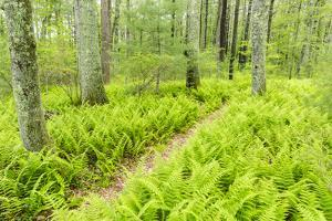 A Trail Creates a Path Through Ferns in the Forest at the Striar Conservancy, Massachusetts by Jerry and Marcy Monkman