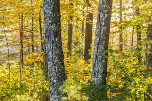 Fall Colors in a Mixed Forest in Barrington, New Hampshire by Jerry and Marcy Monkman