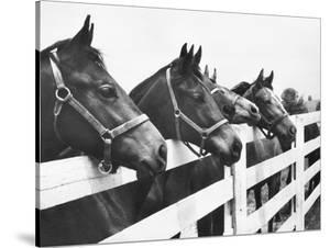 Horses Looking Over Fence at Alfred Vanderbilt's Farm by Jerry Cooke