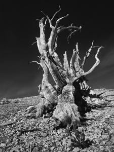 Ancient Bristlecone Pine Tree on Rocky Slope of White Mountains, Inyo Nat'l Forest, California, USA by Jerry Ginsberg