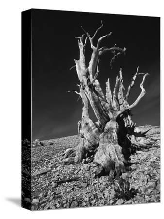 Ancient Bristlecone Pine Tree on Rocky Slope of White Mountains, Inyo Nat'l Forest, California, USA