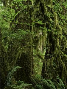 Big Leaf Maples in the Hoh Rain Forest in Olympic National Park, Washington by Jerry Ginsberg