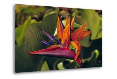 Bird of Paradise Blooming on the Garden Isle, Kauai, Hawaii, USA