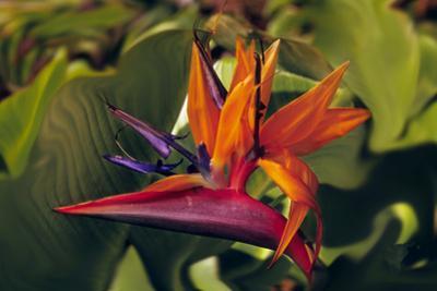 Bird of Paradise Blooming on the Garden Isle, Kauai, Hawaii, USA by Jerry Ginsberg