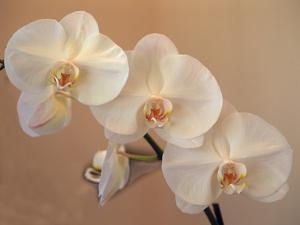 Delicate Orchids Blooming on the Big Island, Hawaii, USA by Jerry Ginsberg