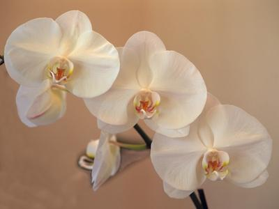 Delicate Orchids Blooming on the Big Island, Hawaii, USA