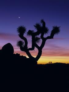 Joshua Tree and Moon, Joshua Tree National Park, California, USA by Jerry Ginsberg
