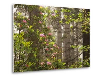 Rhododendrons Blooming in Groves, Redwood NP, California, USA