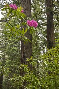 Rhododendrons with Coast Redwood trees, Redwood NP, California, USA by Jerry Ginsberg
