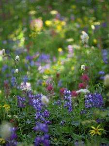 Summer Wildflowers in Mt Rainier National Park, Washington by Jerry Ginsberg