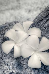 Three Plumeria blossoms resting on a branch in Samoa. by Jerry Ginsberg