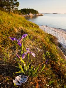A Blue Flag Iris on the Coast of Maine's Great Wass Island Near Jonesport, Maine, Usa by Jerry & Marcy Monkman