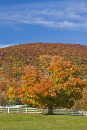 A Maple Tree in Fall at Castle in the Clouds, New Hampshire