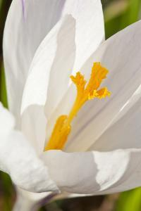A White Crocus in a Garden in Portsmouth, New Hampshire by Jerry & Marcy Monkman