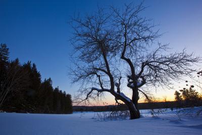 An Apple Tree at Sunset, Notchview Reservation, Windsor, Massachusetts