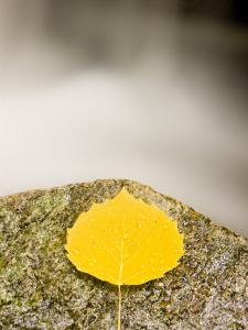 An aspen leaf next to a stream in a Forest in Grafton, New Hampshire, USA by Jerry & Marcy Monkman