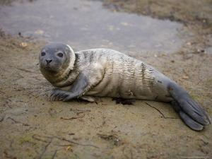 Baby Harbor Seal in Marquoit Bay, Brunswick, Maine, USA by Jerry & Marcy Monkman