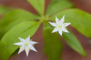 Blooming Starflower in a Durham, New Hampshire Forest by Jerry & Marcy Monkman