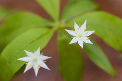 Blooming Starflower in a Durham, New Hampshire Forest