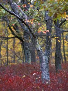 Blueberries in Oak-Hickory Forest in Litchfield Hills, Kent, Connecticut, USA by Jerry & Marcy Monkman