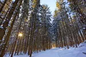 Cross-Country Ski Trail in a Spruce Forest, Windsor, Massachusetts by Jerry & Marcy Monkman