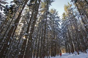 Cross-Country Skiers in a Spruce Forest, Windsor, Massachusetts by Jerry & Marcy Monkman